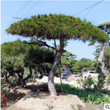 油松树基地直销耐寒耐旱根系发达油松树量大优惠外形美观油松树