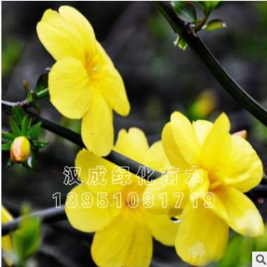 基地出售迎春花 优质迎春苗 绿化工程苗 灌丛批发 量大优惠