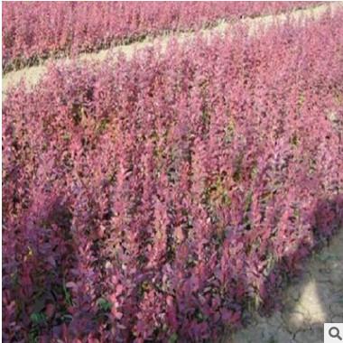 基地直销紫叶小檗规格齐全品种多工程量大从优别墅景观
