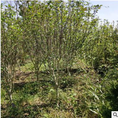 木槿基地直销红花紫槿等绿化工程批发量大从优
