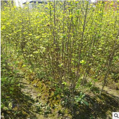 绿化树木工程常年供应木槿品种齐全规格齐全低价出售基地直销