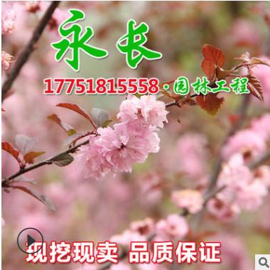 基地直销榆叶梅树苗绿化花木庭院盆栽装饰美化规格齐全榆叶梅苗