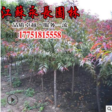 直销红叶碧桃树苗庭院种植观赏行道点缀美化环境规格齐全红叶碧桃