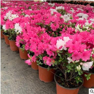 杜鹃花盆栽 室外花园植物 蜡皮杜鹃庭院四季开 花卉阳台老桩花苗