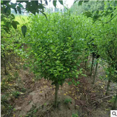 现货木槿园林绿化工程木槿树形优美价格合理量大从优