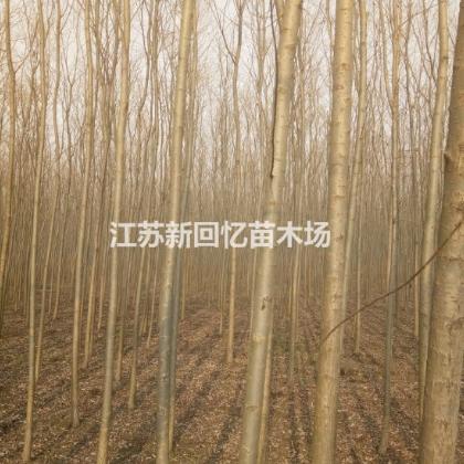江苏沭阳基地供美国竹柳5公分6公分7公分8公分9公分10公分