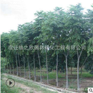 苦楝树苗批发绿化苗木大型风景树 金铃子紫花苦楝易成活