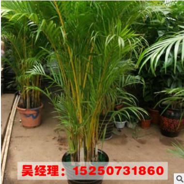 基地批发 室内大型盆栽花卉 凤尾竹 盆景植物 净化空气除甲醛