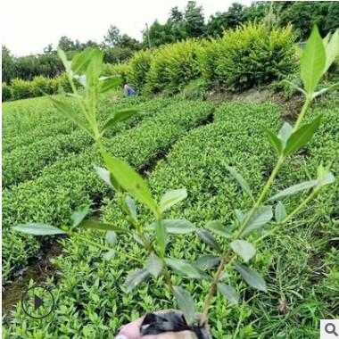 栀子花 浓香型园林绿化工程 基地直销 量大优惠规格全齐