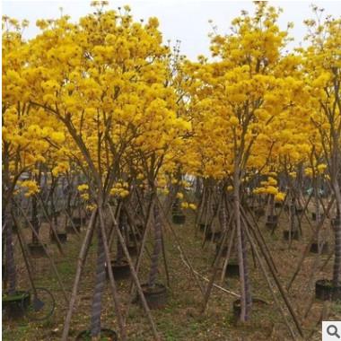 黄花风铃木 生态园林绿化工程庭园观赏乔木批发基地销售苗木