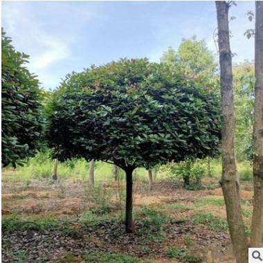 红叶石楠 庭院绿化工程 盆栽花卉 基地直销 量大优惠 园林绿化