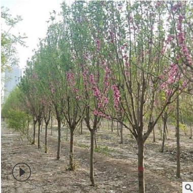 碧桃基地批发大量现货 规格品种齐全 绿化工程树苗 品种纯正