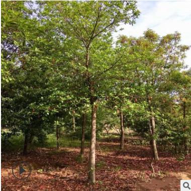 垂丝海棠树苗 地栽海棠树苗庭院绿化 基地直销规格齐全 量大优惠