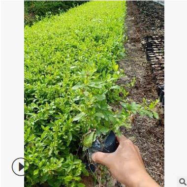 福建地被苗直销 蓝雪花 蓝花丹 盆栽 阳台庭院室内花期长攀爬植物