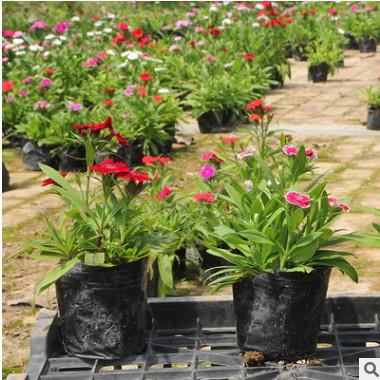 石竹 种类多 景区庭院 常夏石竹 锦团石竹 阳台花草盆栽花卉种子