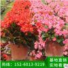 海棠花 盆栽 绿化苗木 基地直销四季海棠家居