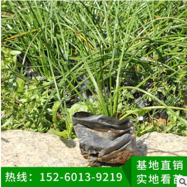 葱兰 韭菜兰地被苗 室内庭院盆栽花卉四季开花葱兰草