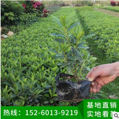毛杜鹃地被苗 多种规格 绿化苗木、基地直销、量大价优、品种多样