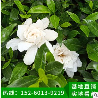 栀子花 袋苗 栀子花盆栽地栽 园林景观工程供应