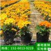 孔雀草 万寿菊种苗直销优质大花孔雀草 四季播 阳台种植花卉