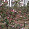 供应八公分 十公分 海棠树苗 品种全 绿化工程园林绿化基地直销