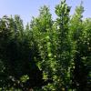北海道种植基地出售 1.8米 2米 2.2 米2.5米 3米价格 北海道黄杨