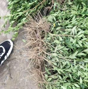 杭州基地出售小叶栀子 大叶栀子 量大优惠品种齐全 工程 公园