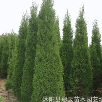 供应刺柏小苗 工程绿化刺柏树苗 园林造型耐寒植物道路行道风景树