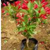 当年开花红王子锦带花苗庭院绿植绿篱植物盆栽花卉耐寒绿化工程苗