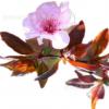 紫叶李树苗南方北方种植庭院绿化树当年开花结果特大红叶李树苗