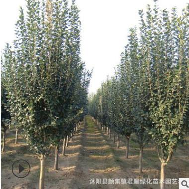 榆叶梅树苗 基地量大特价工程绿化苗木行道观赏多花树状榆叶梅苗