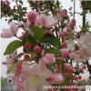 海棠花苗基地批发垂丝海棠西府苗工程用海棠树北美 海棠小苗庭院