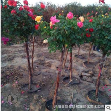 树状月季基地直销大花爬墙批发欧月树形品种树桩当年开花庭院盆栽