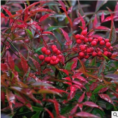 南天竹子红天竺基地常色块苗圃绿红色果秋冬观叶盆栽庭院绿化工程