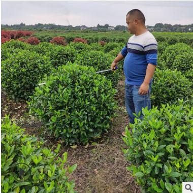 供绿化苗大叶栀子花球批发精品栀子花球价格湖南大叶栀子花球直销