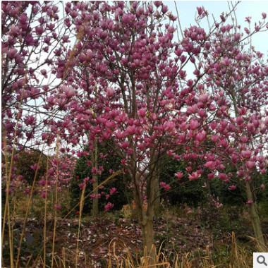 供应园林景观绿化工程苗木紫玉兰二乔玉兰庭院开花乔木紫玉兰批发