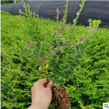 满天星地苗湖南基地直销萼距花小苗现供观花绿植满天星花地被植物