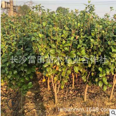厂家直销茶花小球 四季常青庭院绿化苗木