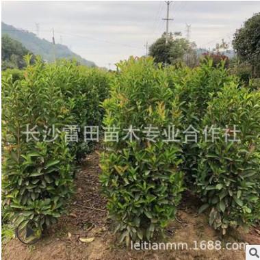 苗圃直销法国冬青柱子 四季常青庭院绿化苗木价格实惠
