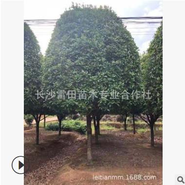 基地直销10-12八月桂 批发桂花树 四季常青庭院绿化价格实惠