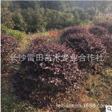 苗圃直销红花继木球,大量批发球,等几十种绿化球类.
