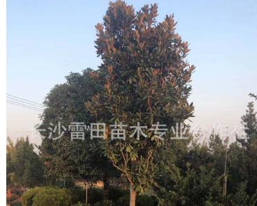苗圃直销广玉兰 批发生广玉兰 四季常青庭院绿化苗木价格实惠