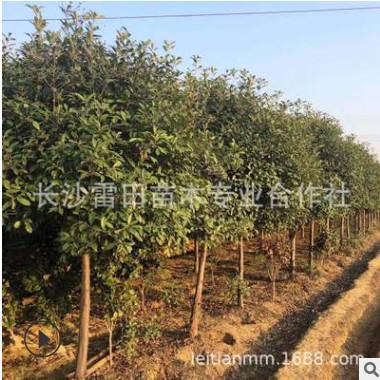 苗圃直销红叶石楠树,大量批发红叶石楠树,等几十种绿化球类.