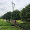 直销八月桂 批发八月桂 四季常青庭院绿化价格实惠