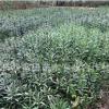 苗圃直销夹竹桃,大量批发球,等几十种绿化球类.