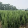 基地直销塔柏H30-200cm,批发塔柏 四季常青庭院绿化价格实惠