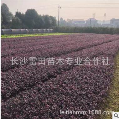 厂家直销红花继木批发 红花继木四季常青庭院绿化