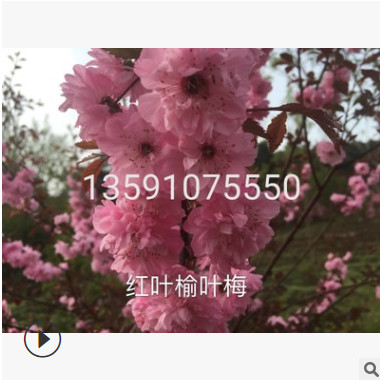 苗木基地直供红叶榆叶梅 榆叶梅球 高杆红叶榆叶梅批发