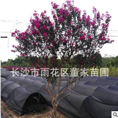 批发丛生紫薇 高度2米 冠幅1米 苗圃直销 量大优惠