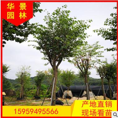 福建宫粉紫荆基地直销批发 园林景观工程供应 量大从优